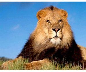 В Африке стало мало львов