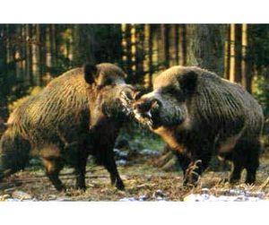 Увеличение поголовья диких животных в  Башкирии