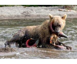 На Камчатке наблюдается «нашествие» бурых медведей