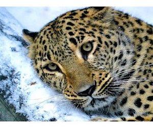 В Приморском крае появится Земля леопарда