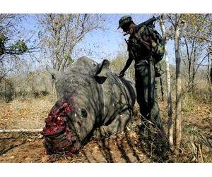 Африканские браконьеры не оставляют шансов африканским носорогам