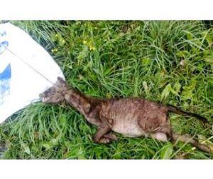 Убитая чупакабра оказалась родственницей енотовидной собаки