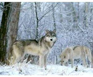 Волки в Приамурье могут сделать охотников миллионерами