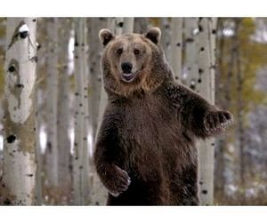 За месяц охотникам предстоит добыть 200 медведей в Карелии