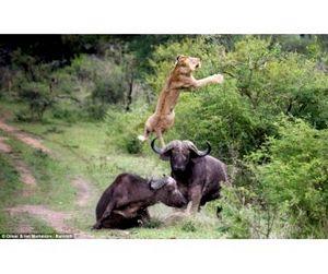 Буйволы преподали львам урок взаимовыручки