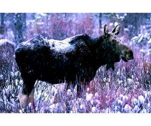 Подходит к концу сезон охоты на лося в Тверской области