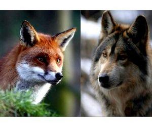 В Чувашии объявлен геноцид волков и лис