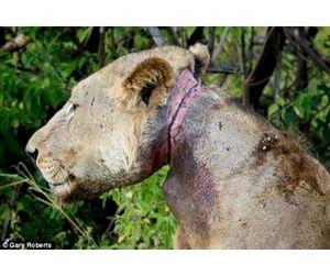 Львиный прайд три года выхаживал своего раненого сородича