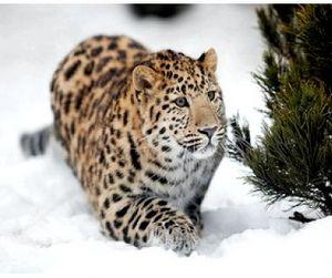 Приморские леопарды могут полностью исчезнуть уже в этом году