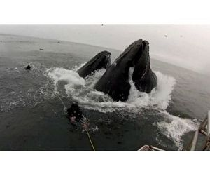 Дайверы едва не стали жертвами двух горбатых китов