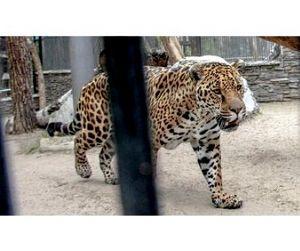 Самка ягуара устроила охоту в Новосибирском зоопарке (видео)