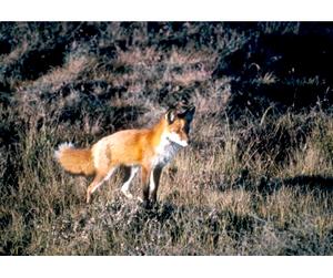 В Тюмени проведут отстрел лисиц и енотовидных собак