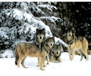 Шведы прекратили отстрел волков из-за протестов защитников животных