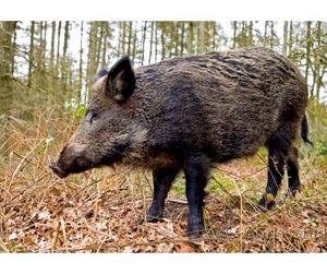 Охота на кабана открыта в Тульской области