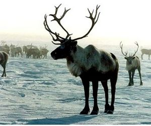 50-ти летнему жителю Ямала вынесли приговор за убийство 16 оленей.