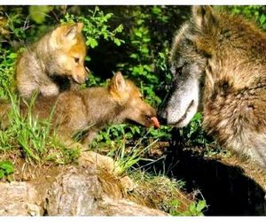 Волчья напасть