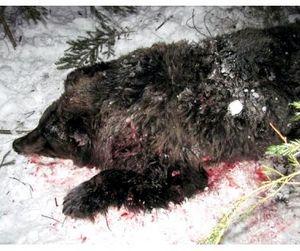 Пьяные браконьеры подрались из-за шкуры убитого медведя