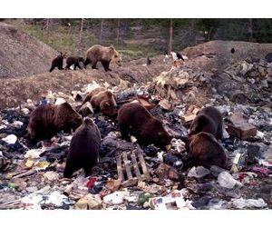 БАМ - территория медведей