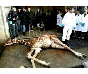 Имя жирафа Мариуса станет торговой маркой в Чечне