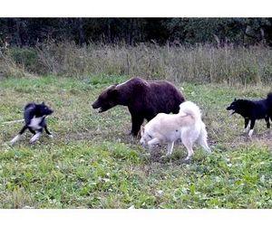 Возрождение охотничьего собаководства