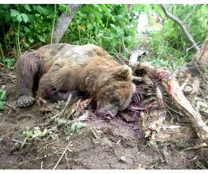 Раненый медведь убил охотника