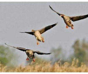 В Липецкой области пройдёт перепись водоплавающих птиц