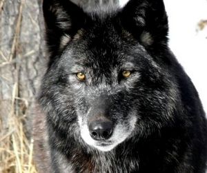 Под Санкт-Петербургом пойман волк-мутант