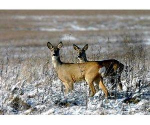 Сезон охоты на пушных зверей открыт в Тамбовской области. Копытные ждут снега