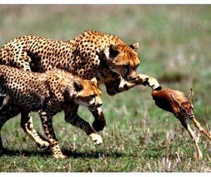 Антилопа спаслась от гепардов в автомобиле