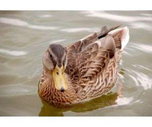 Охотиться на водоплавающую дичь в Зауралье можно будет до 10 ноября