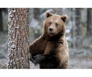 Колымский медведь - угонщик