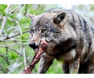 5-1 в пользу волков