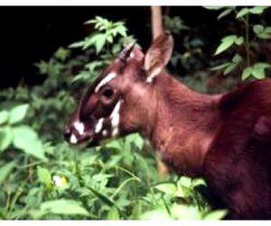 Во Вьетнаме обнаружено животное, считавшееся вымершим 15 лет