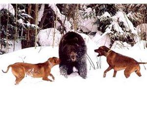 Томские охотники просят продлить сезон охоты на медведя