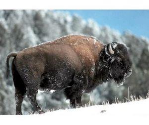 Зачем  в Якутии бизоны