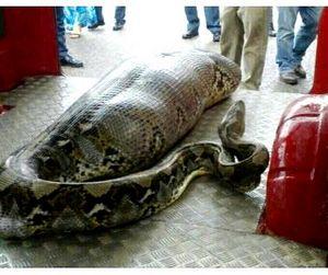 Спящий турист стал жертвой питона в Индии