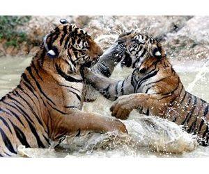 Нападение тигров в Таиланде