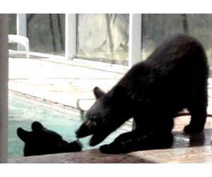 Медведи спаслись от жары в бассейне частного дома во Флориде