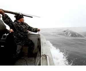 Чукотские китобои загарпунили первого за три года гренландского кита