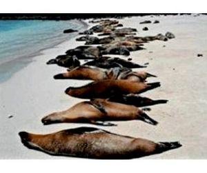 Тысяча морских львов покончила с собой на пляже Калифорнии