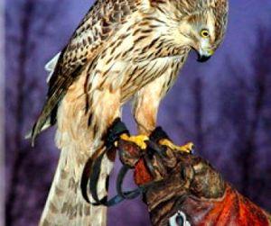 Съезд любителей соколиной охоты пройдет под Тулой