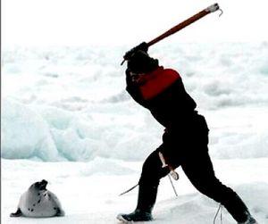 В России планируется возобновить забой тюленей