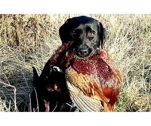 В Астраханской области открыта охота на фазана