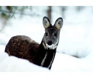 В Якутии завершается сезон охоты на кабаргу и боровую дичь