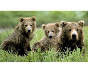В Тюменской области расплодились медведи