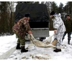 Якутским волкам теперь не позавидуешь