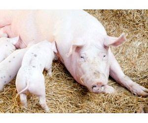 Африканская чума свиней может оставить Россию без мяса