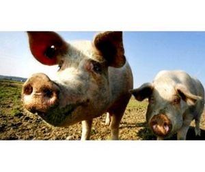 Фермер подложил чиновнику свинью