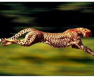 Гепарды не смогли убежать от кенийских крестьян