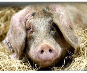 Африканская чума свиней в Смоленской области
